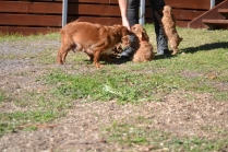 Rozelle and Pups- Banksia Park Puppies - 138 of 142
