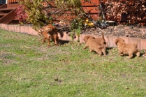 Rozelle and Pups- Banksia Park Puppies - 2 of 142