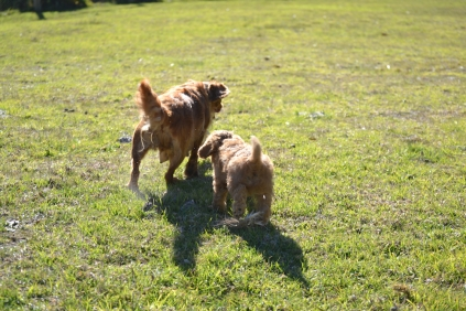 Rozelle and Pups- Banksia Park Puppies - 20 of 142
