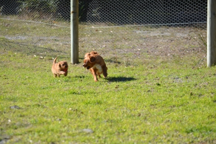 Rozelle and Pups- Banksia Park Puppies - 23 of 142
