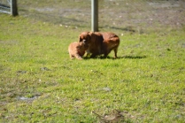 Rozelle and Pups- Banksia Park Puppies - 24 of 142