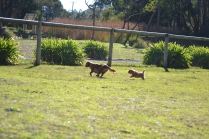 Rozelle and Pups- Banksia Park Puppies - 27 of 142