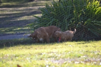 Rozelle and Pups- Banksia Park Puppies - 28 of 142
