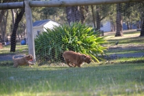 Rozelle and Pups- Banksia Park Puppies - 29 of 142