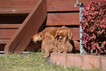 Rozelle and Pups- Banksia Park Puppies - 3 of 142