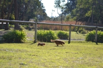 Rozelle and Pups- Banksia Park Puppies - 30 of 142