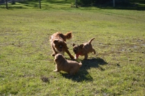 Rozelle and Pups- Banksia Park Puppies - 35 of 142