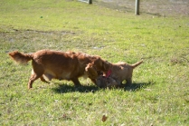Rozelle and Pups- Banksia Park Puppies - 38 of 142