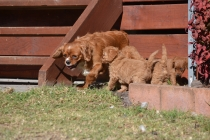 Rozelle and Pups- Banksia Park Puppies - 4 of 142