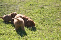 Rozelle and Pups- Banksia Park Puppies - 40 of 142