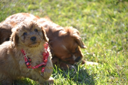 Rozelle and Pups- Banksia Park Puppies - 42 of 142