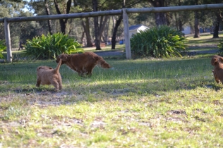 Rozelle and Pups- Banksia Park Puppies - 44 of 142