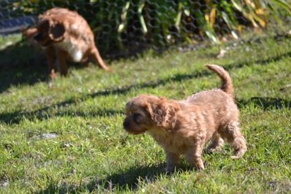 Rozelle and Pups- Banksia Park Puppies - 53 of 142