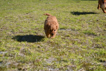Rozelle and Pups- Banksia Park Puppies - 56 of 142