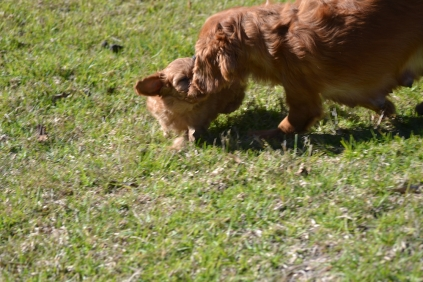 Rozelle and Pups- Banksia Park Puppies - 7 of 142