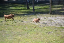 Rozelle and Pups- Banksia Park Puppies - 71 of 142