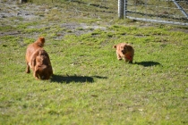 Rozelle and Pups- Banksia Park Puppies - 73 of 142