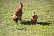 Rozelle and Pups- Banksia Park Puppies - 75 of 142