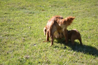Rozelle and Pups- Banksia Park Puppies - 77 of 142