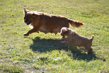Rozelle and Pups- Banksia Park Puppies - 80 of 142