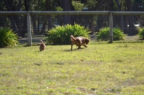 Rozelle and Pups- Banksia Park Puppies - 82 of 142