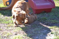 Rozelle and Pups- Banksia Park Puppies - 93 of 142