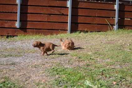 Rozelle and Pups- Banksia Park Puppies - 96 of 142