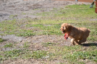 Rozelle and Pups- Banksia Park Puppies - 97 of 142