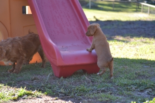 Rozelle and Pups- Banksia Park Puppies - 98 of 142