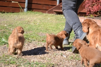 Rozelle and Pups- Banksia Park Puppies - 99 of 142