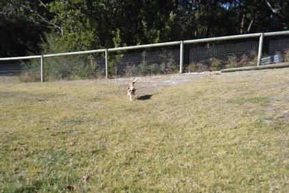 Dasha- Banksia Park Puppies - 1 of 24