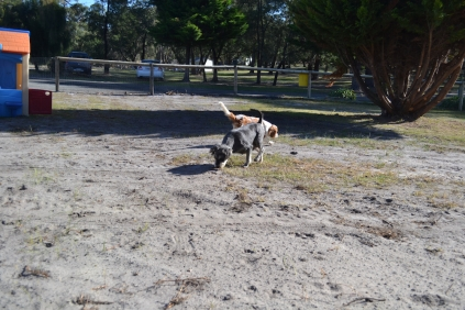 Dasha- Banksia Park Puppies - 10 of 24