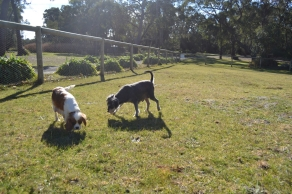 Dasha- Banksia Park Puppies - 16 of 24