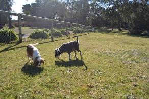 Dasha- Banksia Park Puppies - 16 of 24