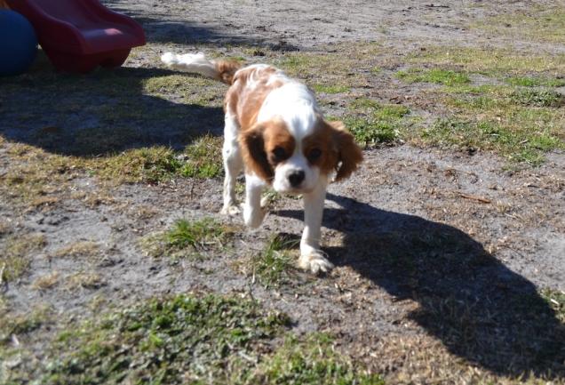 Dasha- Banksia Park Puppies - 24 of 24