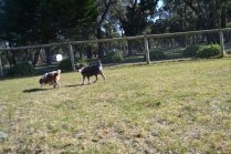 Dasha- Banksia Park Puppies - 8 of 24