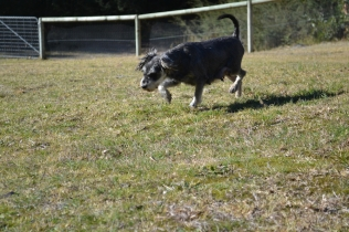 Floss- Banksia Park Puppies - 22 of 22