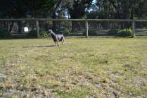 Floss- Banksia Park Puppies - 7 of 22