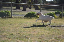 KitKat- Banksia Park Puppies - 21 of 30