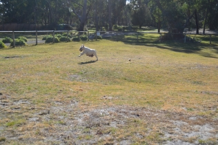 KitKat- Banksia Park Puppies - 4 of 30