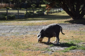 Florrie-Schnauzer-Banksia Park Puppies - 10 of 20