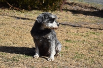 Florrie-Schnauzer-Banksia Park Puppies - 14 of 20