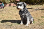 Florrie-Schnauzer-Banksia Park Puppies - 18 of 20