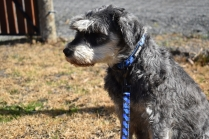 Florrie-Schnauzer-Banksia Park Puppies - 2 of 20