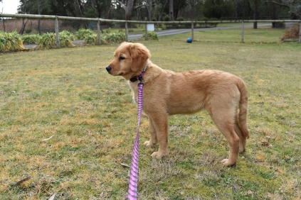 HoneyBear-Groodle-Banksia Park Puppies - 23 of 29