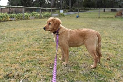 HoneyBear-Groodle-Banksia Park Puppies - 23 of 29