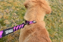 HoneyBear-Groodle-Banksia Park Puppies - 28 of 29
