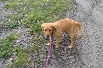 HoneyBear-Groodle-Banksia Park Puppies - 5 of 29