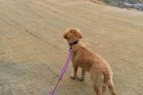 HoneyBear-Groodle-Banksia Park Puppies - 7 of 29