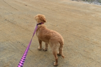 HoneyBear-Groodle-Banksia Park Puppies - 8 of 29